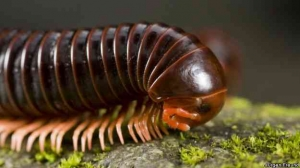Closeup of a millipede showing its many legs