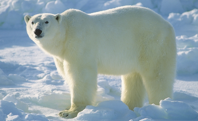 It's OK to be fat if you are a polar bear