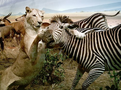 Lions hunting Zebras