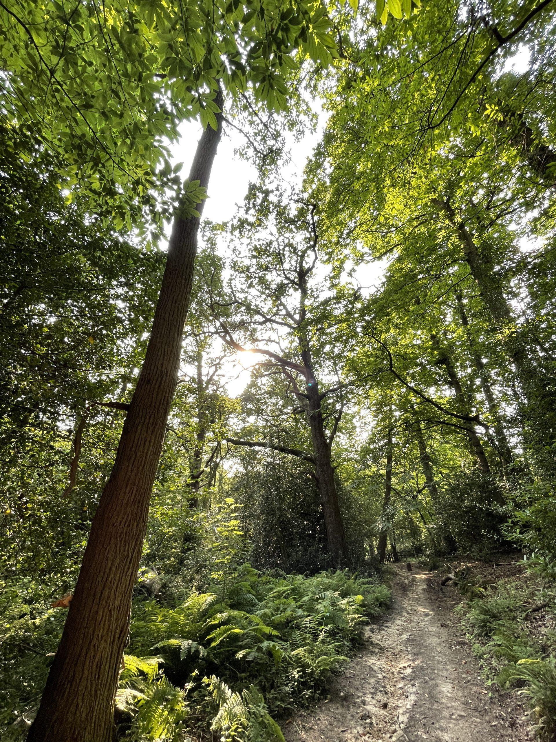 A path past a single tall tree amongst woodland greenery